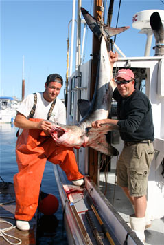 Porbeagle shark caught on the Labrador